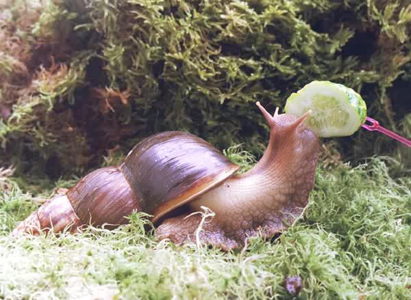 http://achatina.unnat.ru/Photo/SNail030.jpg
